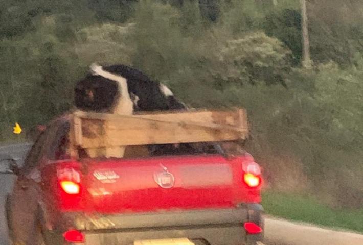 Vídeo: internauta flagra carro transportando vaca na BR-282