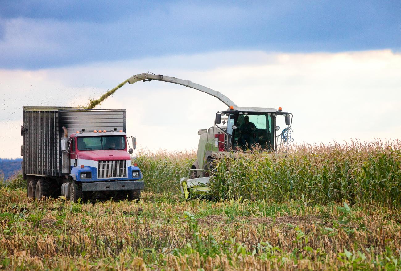 Produção de milho para silagem registra perda de 24% por causa da estiagem, em Xanxerê