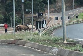 Motorista flagra cavalos soltos na BR-282, em Xanxerê