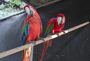 Araras-vermelhas mantidas em cativeiro irregularmente são apreendidas pela Polícia Ambiental