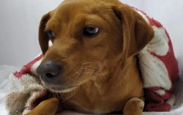 Ajude a Caramela: voluntários pedem ajuda para pagar cirurgia de cão atropelado e abandonado